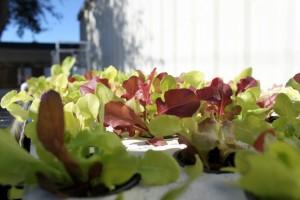 Lettuce in SWC in Phase II