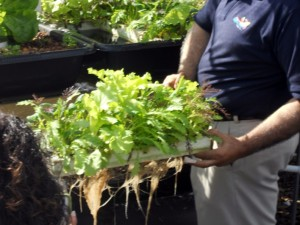 Sahib showing the growth in less tahn 2 months in the Aquaponics Zero Lot system