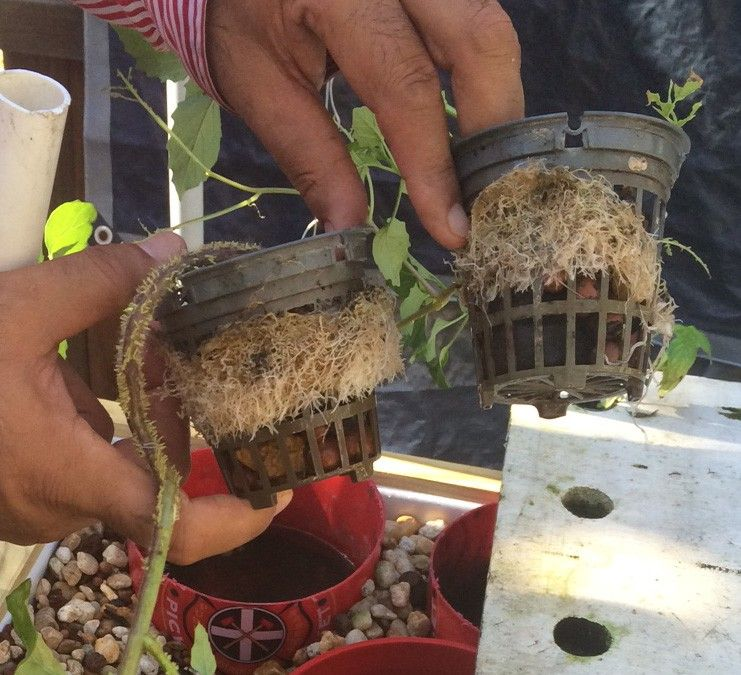 What's eating my plant roots? | Sahib Aquaponics - an urban